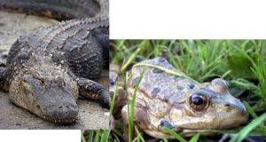 Жаба и Аллигатор